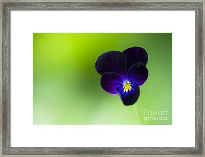 Viola Cornuta 'bowles Black' Framed Print by Tim Gainey