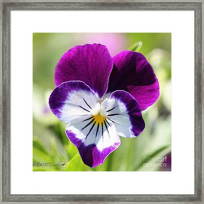 Viola Named Sorbet Blackberry Cream Framed Print