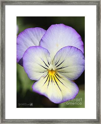 Viola Named Sorbet Lemon Blueberry Swirl Framed Print by J McCombie