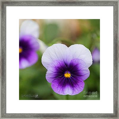 Viola Named Sorbet Violet Beacon Framed Print by J McCombie