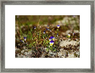 Viola. Wild Flowers Of The Northern Russia Framed Print by Jenny Rainbow