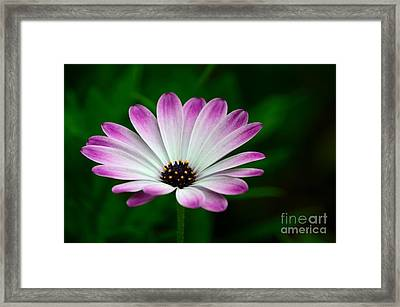 Violet And White Flower Petals With Yellow Stamens Blossoms  Framed Print