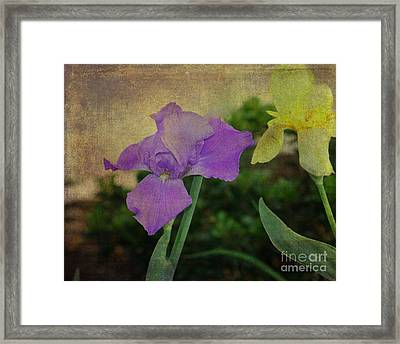 Violet And Yellow Irises  Framed Print by Amanda Collins
