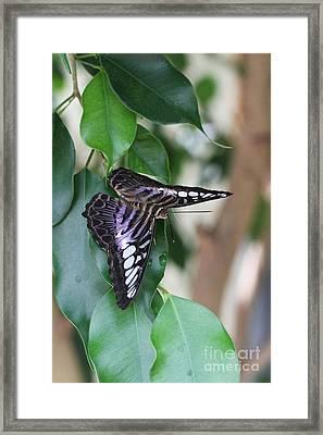 Violet Clipper Butterfly Framed Print
