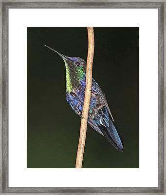 Violet-crowned Woodnymph 2 Framed Print