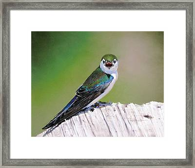 Violet Green Swallow Framed Print by Dianna Ponting