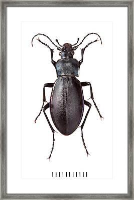Violet Ground Beetle Framed Print