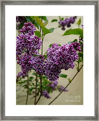 Violet Lilac Framed Print by Christiane Schulze Art And Photography