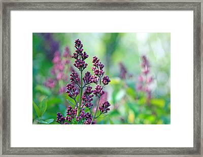 Violet Lilacs Budding Framed Print by Karon Melillo DeVega