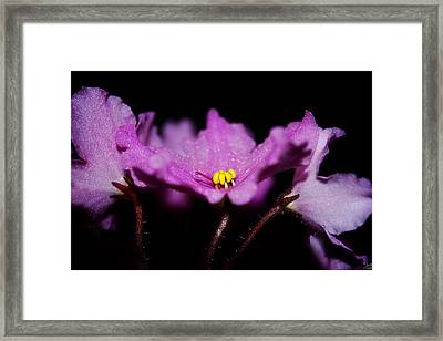 Violet Prayers Framed Print by Lisa Knechtel