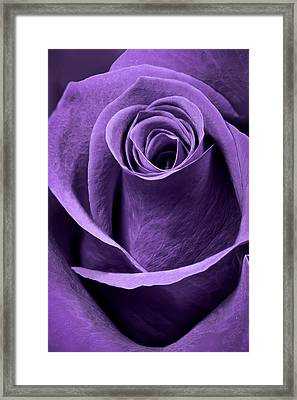Violet Rose Framed Print by Adam Romanowicz