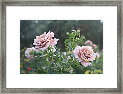 Violet Roses Framed Print