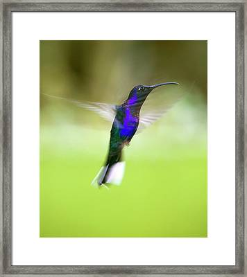 Violet Sabrewing Hummingbird Framed Print