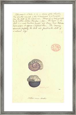 Violet Snail Framed Print by Natural History Museum, London