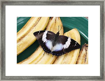 Violet-spotted Charaxes Butterfly Framed Print