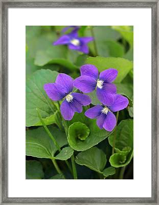 Violet Trio Framed Print