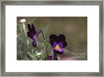 Violets -33 Framed Print by Stephen Parker