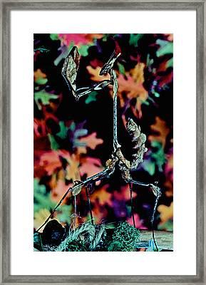 Indian Rose Mantis Gonglus Gongylodes Wandering Violin Mantis Full Body Closeup          Framed Print by Leslie Crotty