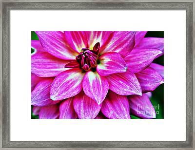 Virbrant Pink Dahlia Framed Print by Judy Palkimas