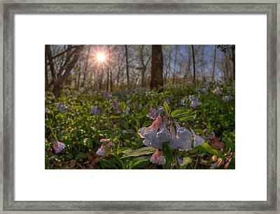 Virgina Bluebells Framed Print