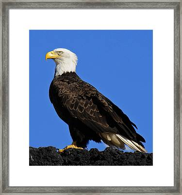 Virginia Bald Eagle Framed Print by Lara Ellis
