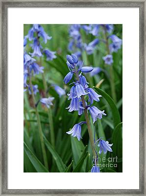Framed Print featuring the photograph Virginia Blue Bells  by Eva Kaufman
