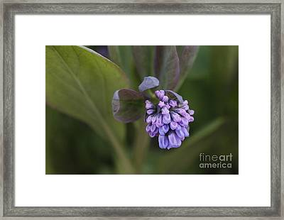 Virginia Bluebell Framed Print