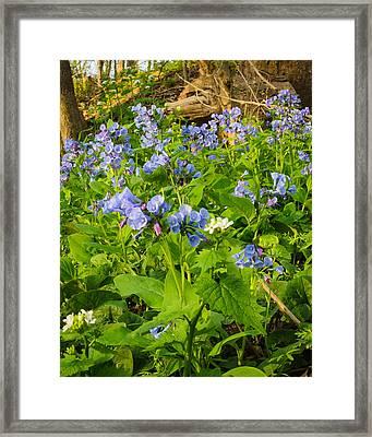 Virginia Bluebells Framed Print by Thomas Pettengill