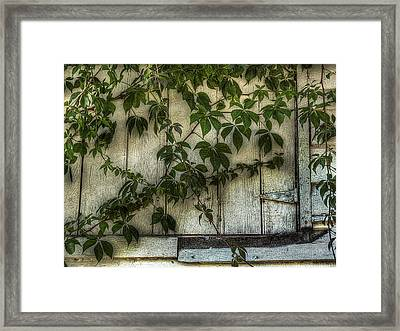 Virginia Creeper Framed Print by William Fields