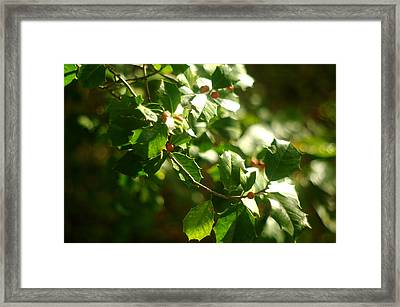 Framed Print featuring the photograph Virginia Holly Tree And Berries by Suzanne Powers