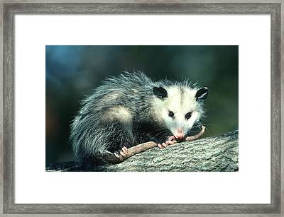 Virginia Opossum (didelphis Virginiana Framed Print by Richard and Susan Day