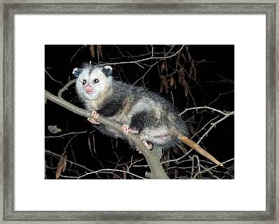 Virginia Opossum Framed Print