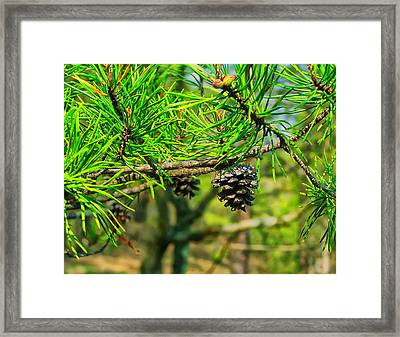 Virginia Pine Framed Print by Chris Flees