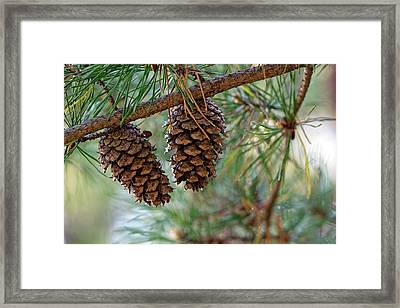 Virginia Pine (pinus Virginiana) Framed Print by Dr. Nick Kurzenko