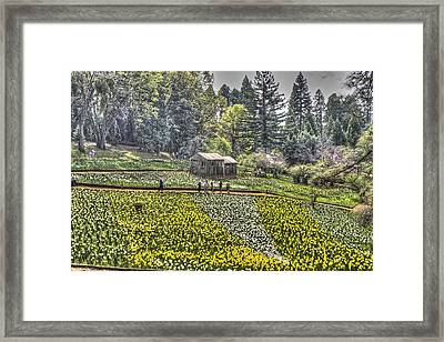 Visitors On Daffodil Hill Framed Print