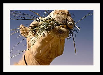 Arabia Framed Prints