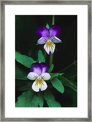 Vivacious Viola  Framed Print by Bijan Pirnia