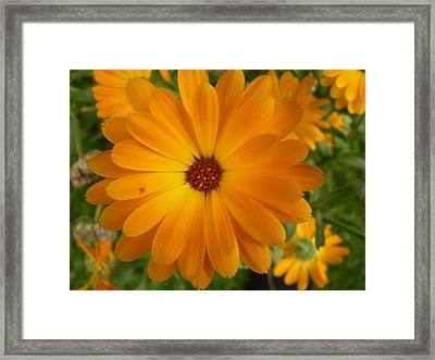 Vivid Orage Flower Framed Print by Fabian Cardon