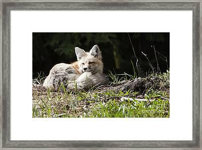 Vixen At Silvergate Framed Print by Bob Dowling