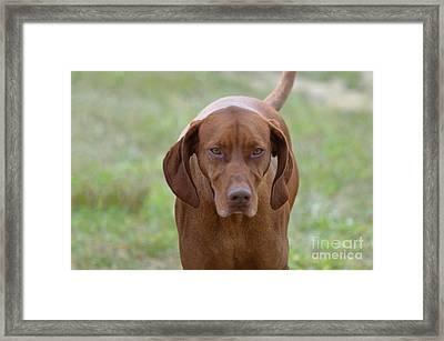 Vizsla Dog Framed Print by DejaVu Designs