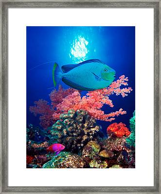 Vlamings Unicornfish And Squarespot Framed Print by Panoramic Images