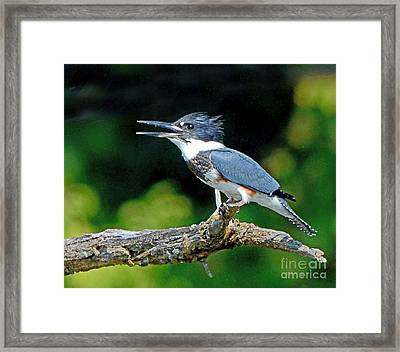 Vocal Belted Kingfisher Framed Print by Rodney Campbell