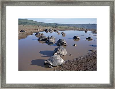 Volcan Alcedo Giant Tortoise Wallowing Framed Print by Tui De Roy