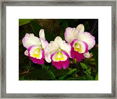 Cattleya Orchid Framed Print