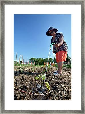 Volunteer In A Community Garden Framed Print by Jim West