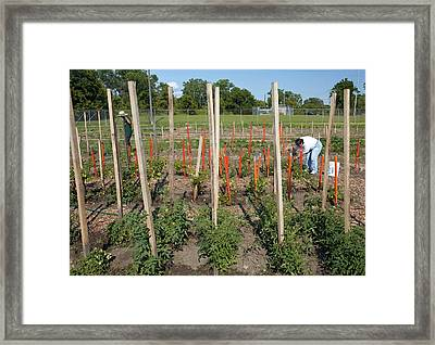 Volunteers In A Community Garden Framed Print