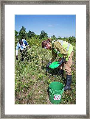 Volunteers Removing Buckthorn Framed Print by Jim West
