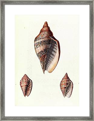Voluta Seashells Framed Print by Royal Institution Of Great Britain