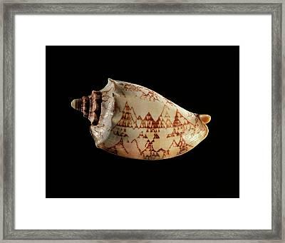 Volute Sea Snail Shell Framed Print by Gilles Mermet