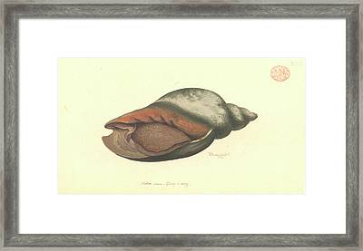 Volute Shell Framed Print by Natural History Museum, London